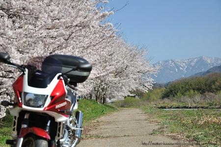 Sakura4_110417