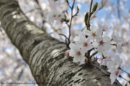 Sakura6_110417